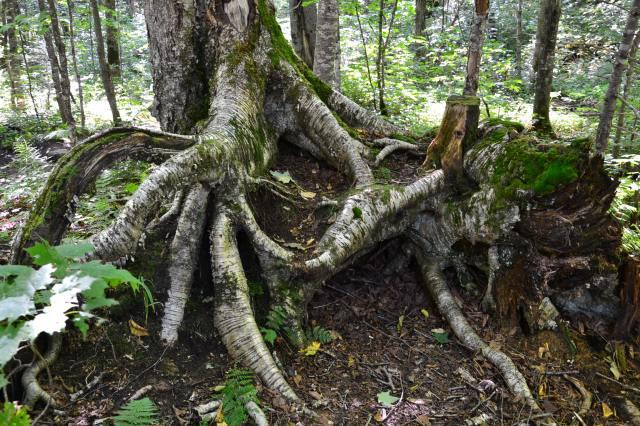 arbre racines